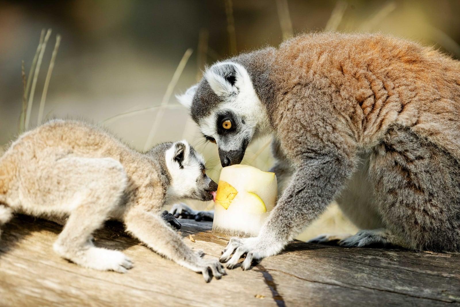 Lemury w Amersfoort, Holandia, fot. EPA/Robin van Lonkhuijsen
