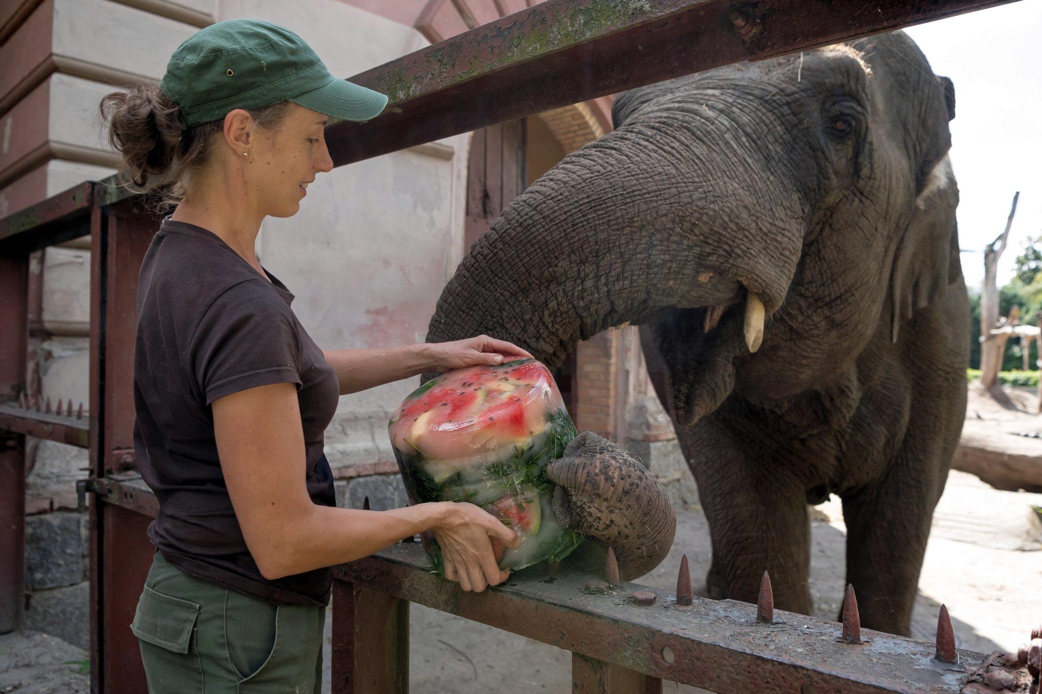 Słonice indyjskie z wrocławskiego ZOO - Birma i Toto dostały od swojej opiekunki mrożone owoce i warzywa. Aby upał mniej doskwierał. zwierzęta wzięły też zimny prysznic, fot. Maciej Kulczyński, PAP