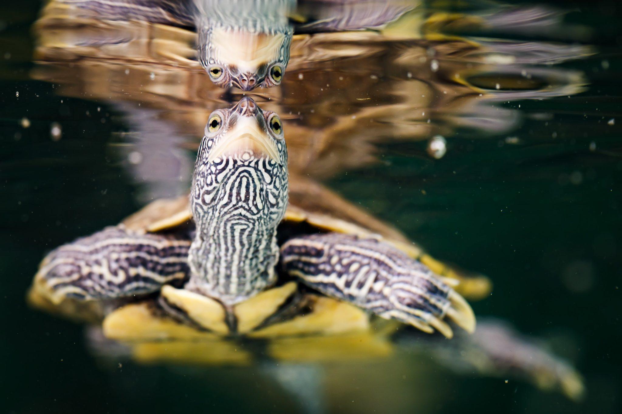 Szwajcaria: żółw zagląda do stawu wodnego w