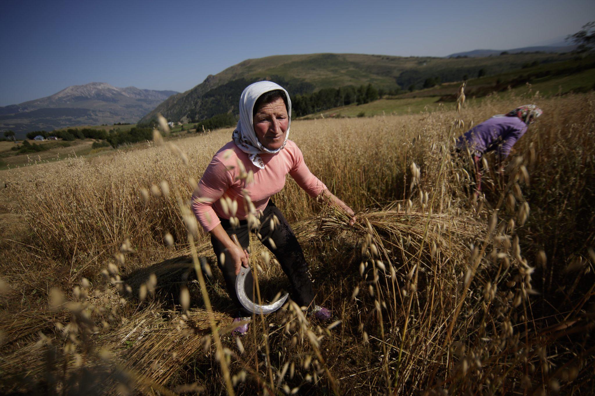 Kobiety zbierają owies w miejscowości Turaj w Albanii. Wioska położona jest w regionie granicy trójkąta między Albanią, Kosowem i Macedonią na wysokości prawie 2500 metrów nad poziomem morza, fot. Valdrin Xhemaj, PAP/EPA
