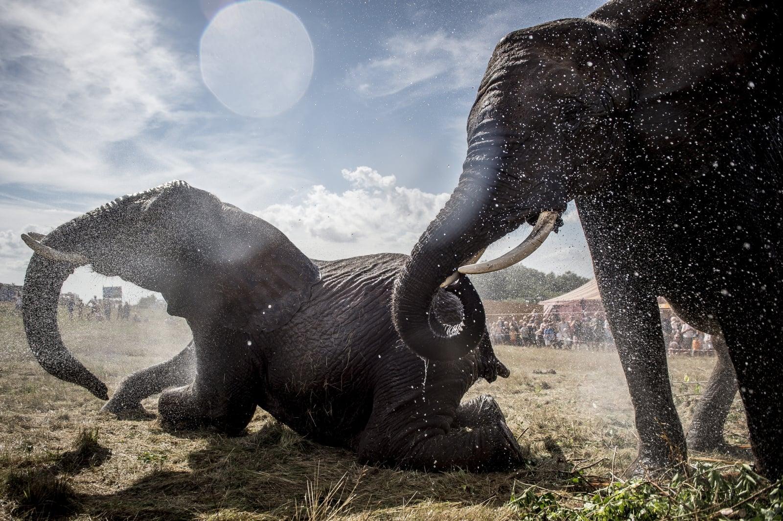 Strażacy, ratując słonie przed upałem, zapewnili im zimny prysznic, Dania, fot. EPA/MADS CLAUS RASMUSSEN