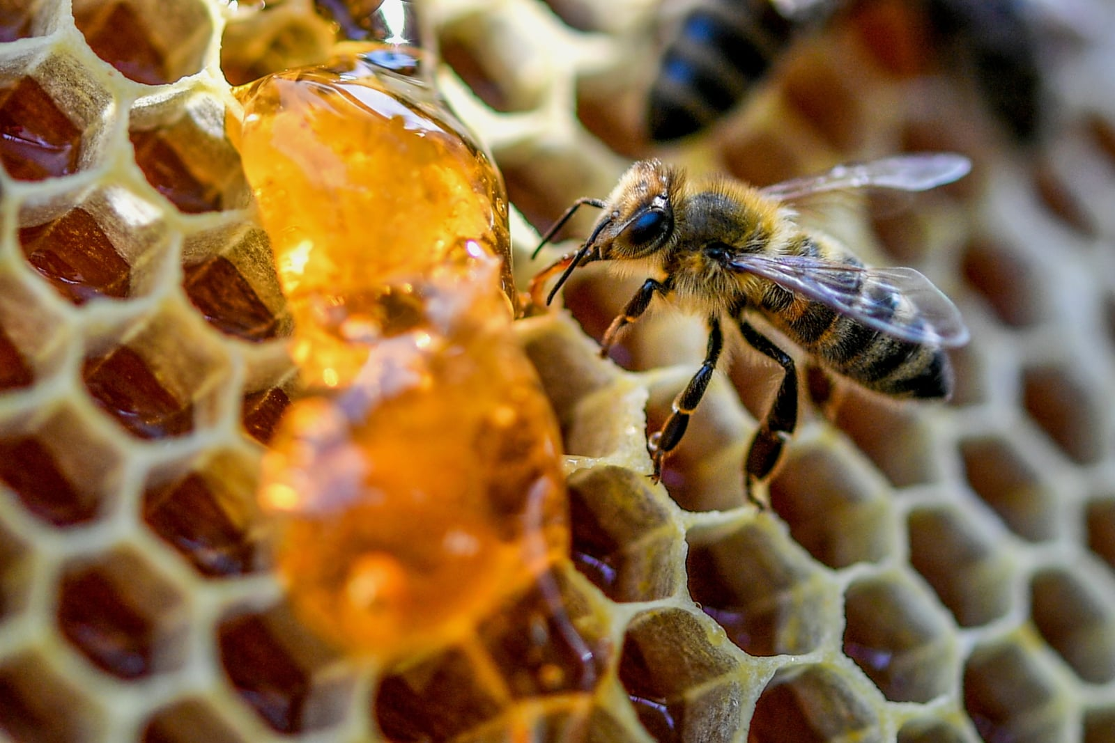 Pszczoły produkujące miód. fot. EPA/SASCHA STEINBACH