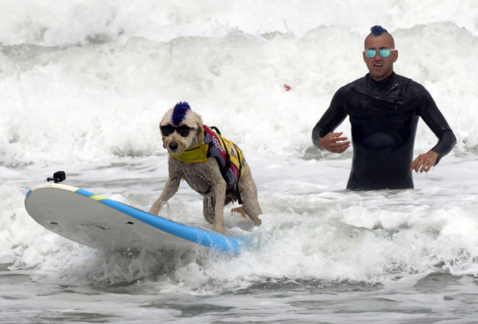 Mistrzostwa świata psów w surfowaniu na desce, Kalifornia, fot. EPA/JOHN G. MABANGLO