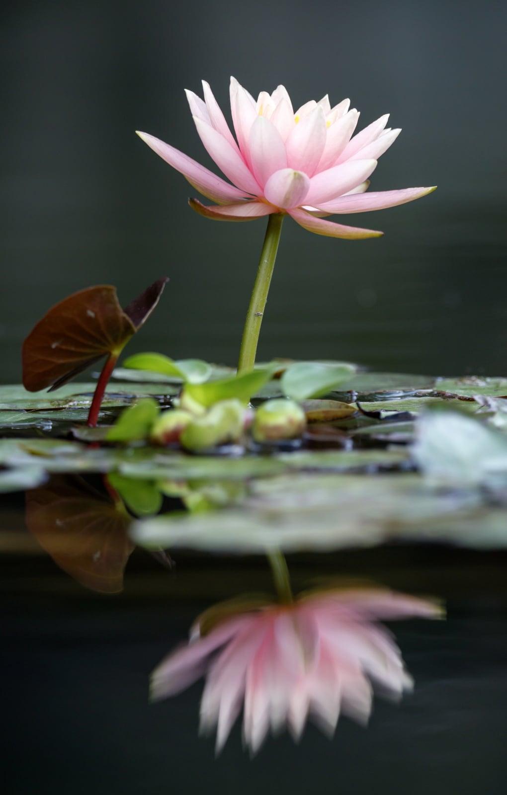 Przepiękne okazy wodnych roślin w Luisenpark (Mannheim) fot. EPA/RONALD WITTEK