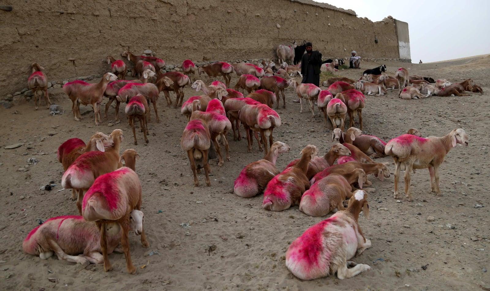 Zwierzęta sprzedawane są na ofiarę na święto Id al-Adha. Fot. PAP/EPA/GHULAMULLAH HABIBI