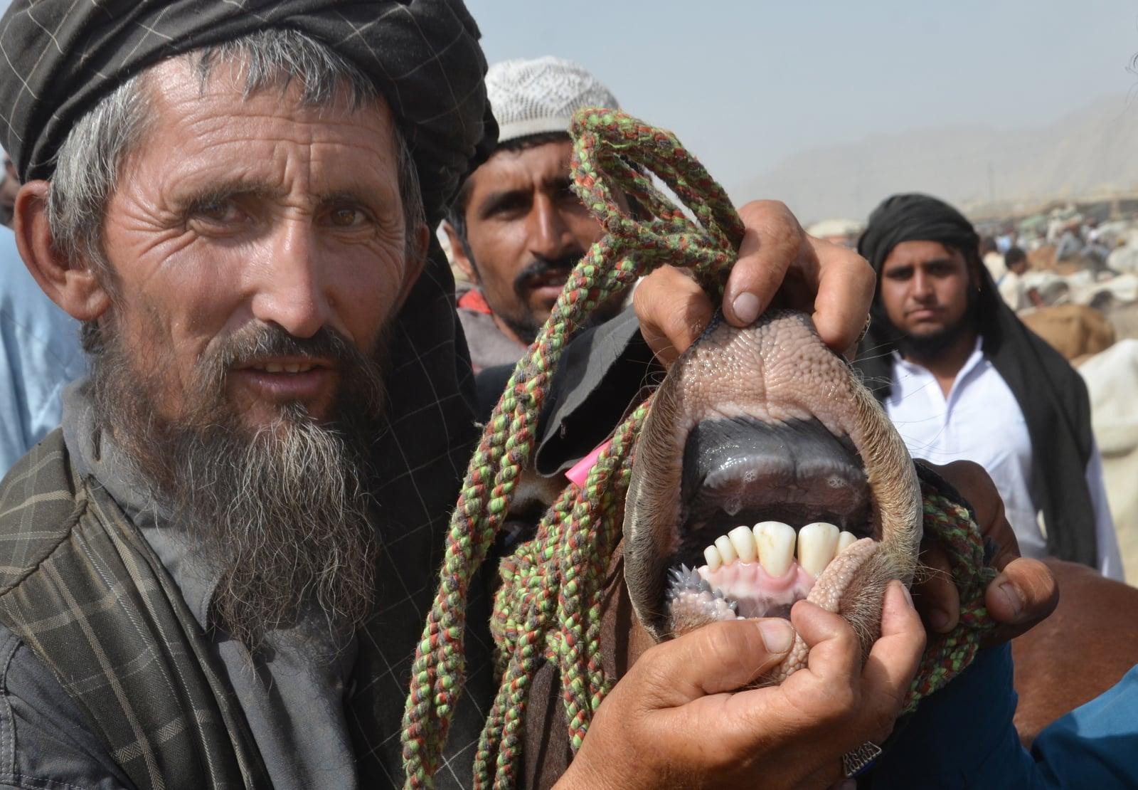 Mężczyzna bada zęby zwierzęcia ofiarnego, żeby ustalić jego wiek na święto Id al-Adha, Pakistan. Fot. PAP/EPA/JAMAL TARAQAI