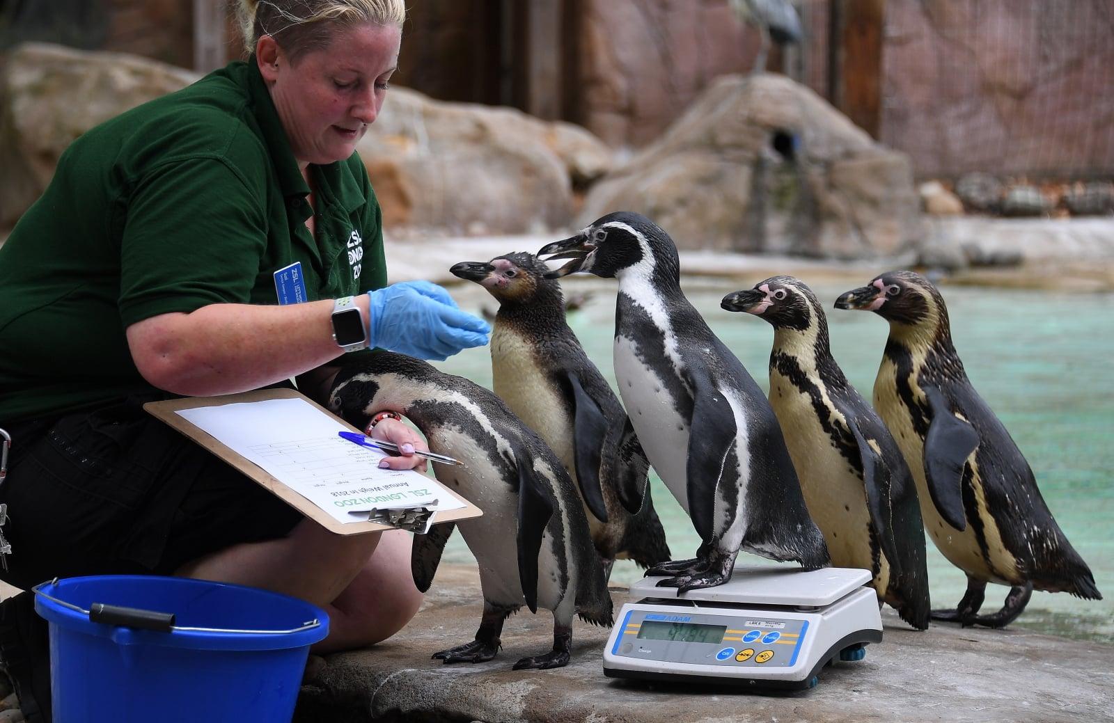 Brytyjskie pingwiny w Londyńskim zoo