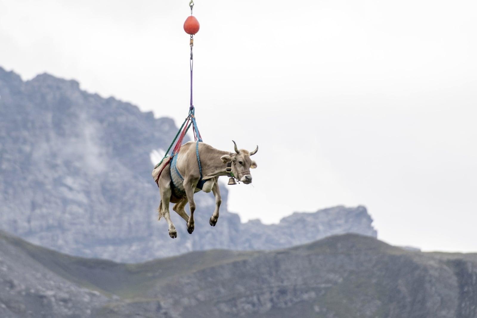 Zraniona krowa w Alpach była dzisiaj transportowana przez ratowników