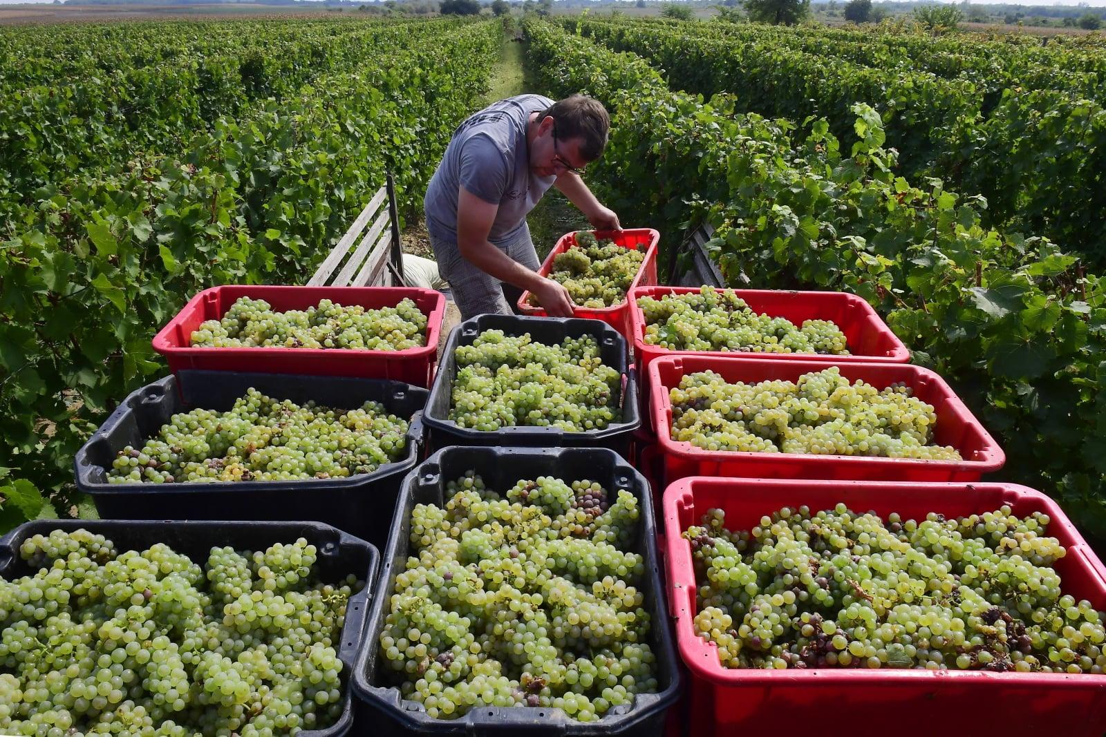 Węgierski wytwórca wina Zoltan Lukacsy. Fot. PAP/EPA/Tamas Kovacs