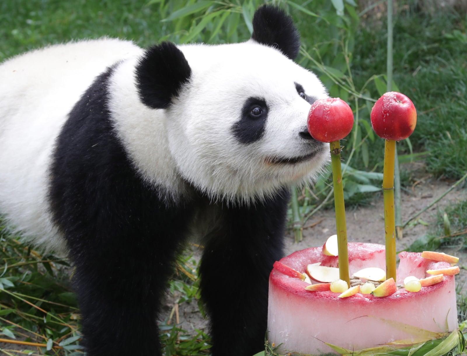 Panda z ogrodu zoologicznego w Madrycie je tort z okazji swoich drugich urodzin, fot. EPA/ZIPI