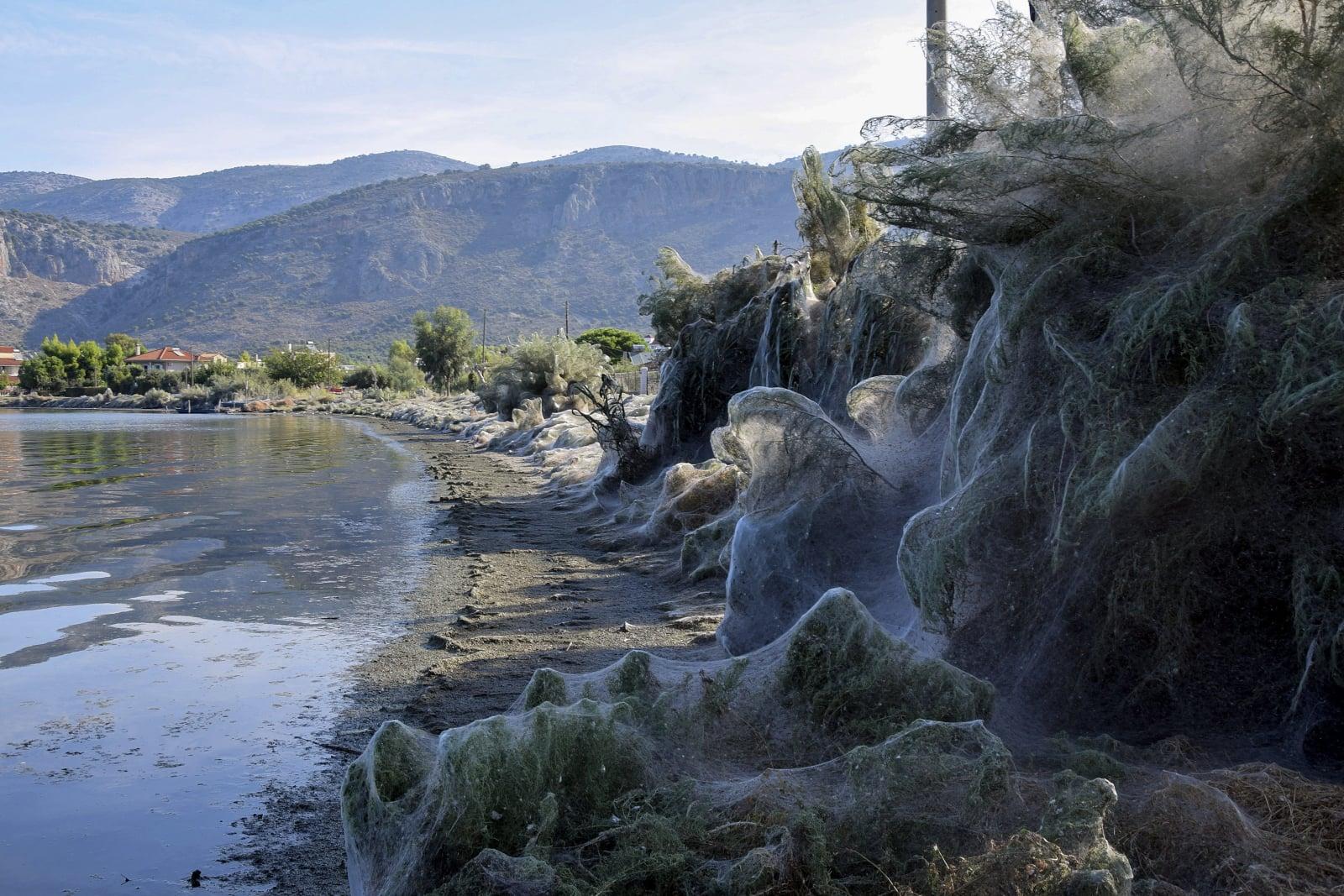 Ogromna pajęczyna pokrywająca roślinność wzdłuż wybrzeża Aitoliko, około 250 km na zachód od Aten. Eksperci twierdzą, że jest to zjawisko sezonowe, spowodowane przez pająki Tetragnatha, fot. EPA/GIANNIS GIANNAKOPOULOS