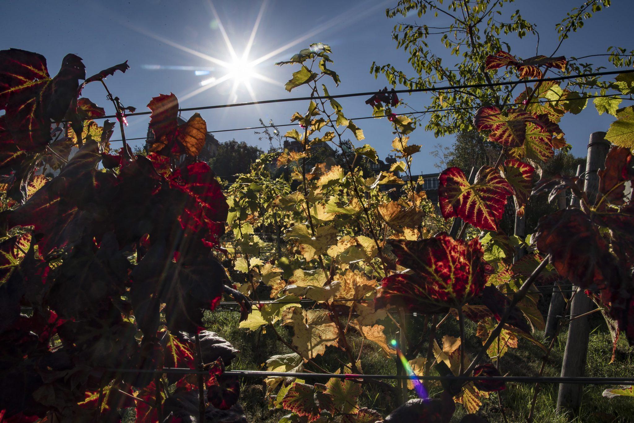 Poranne słońce oświetla Clos de Montmartre, niewielką winnicę niedaleko Paryża, należący do Paryża, położony w Montmartre w 18. dzielnicy Paryża, fot. Ian Langsdon, PAP/EPA