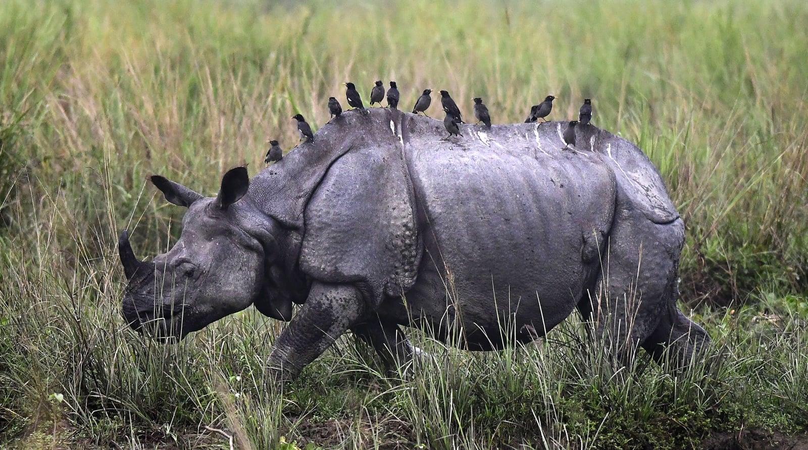 Nosorożec z Indii fot. EPA/STR