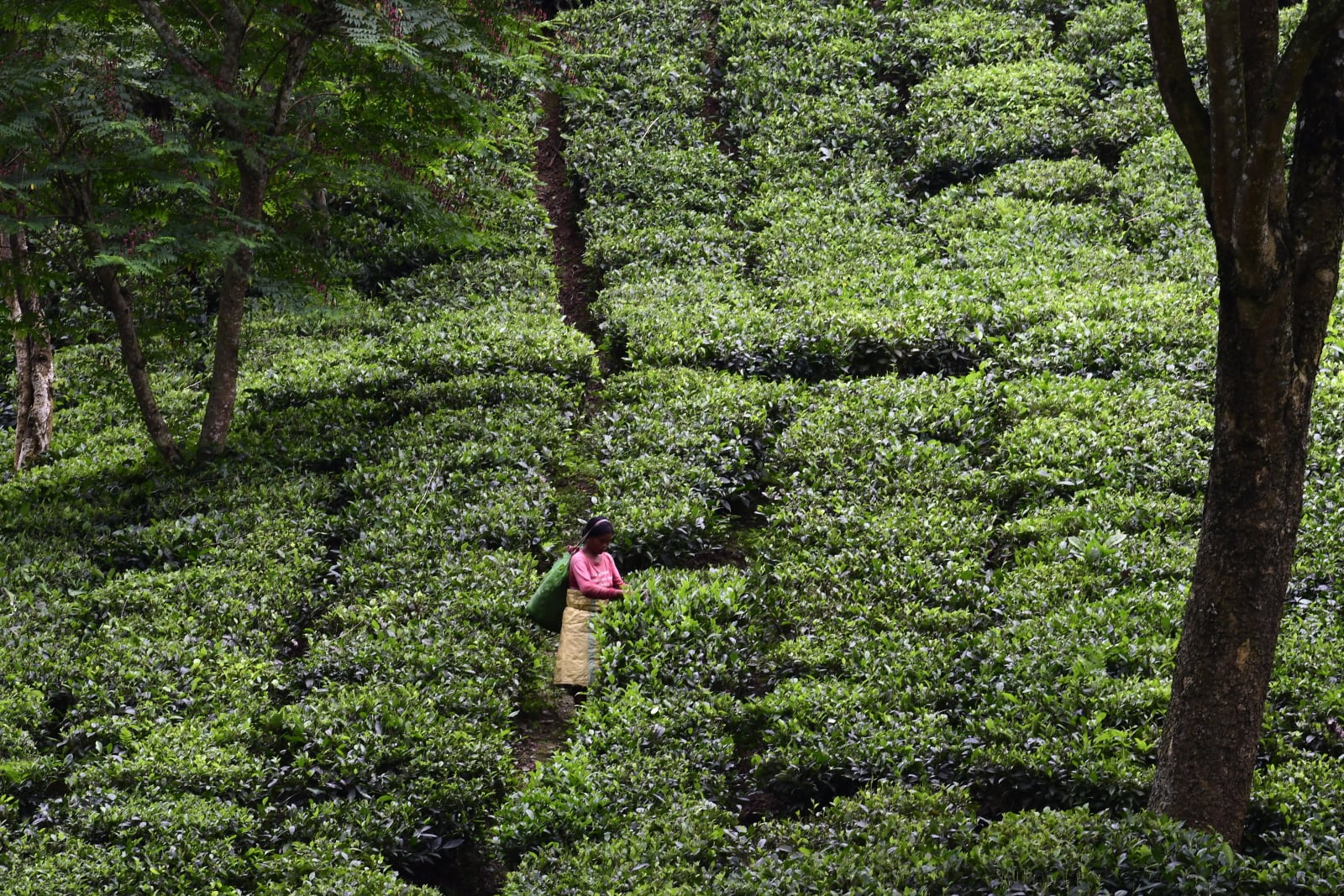Pola herbaciane w Indiach fot. EPA/STR