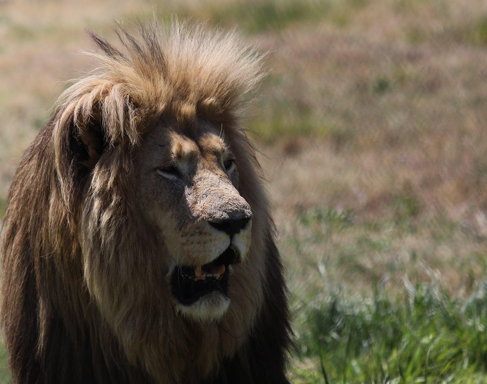 Świątynia lwów w RPA fot EPA/KIM LUDBROOK