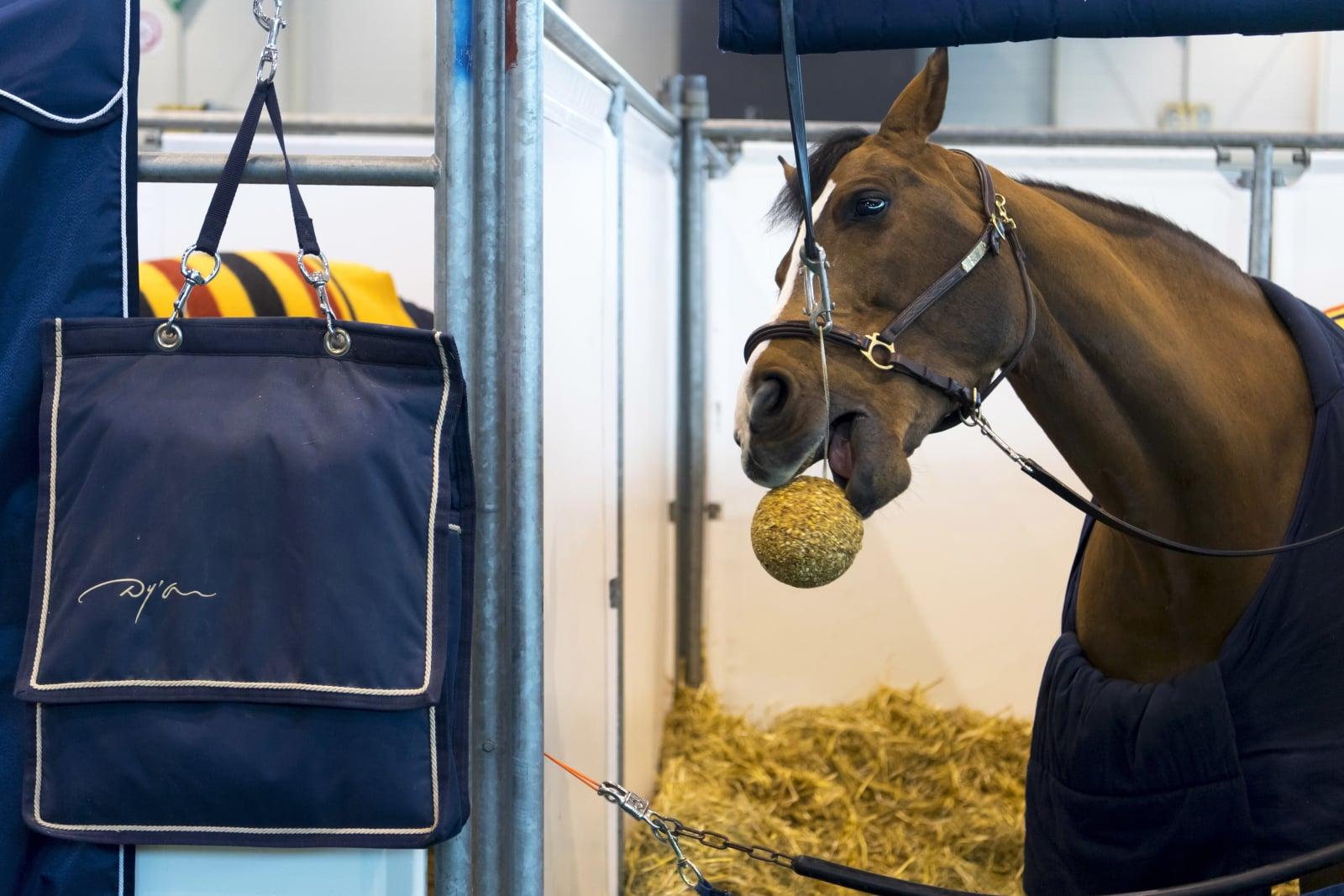 Koń Cristo w stajni podczas 58. Międzynarodowego Turnieju Skoków Konnych CHI w Genewie w Szwajcarii. Fot. PAP/EPA/LAURENT GILLIERON