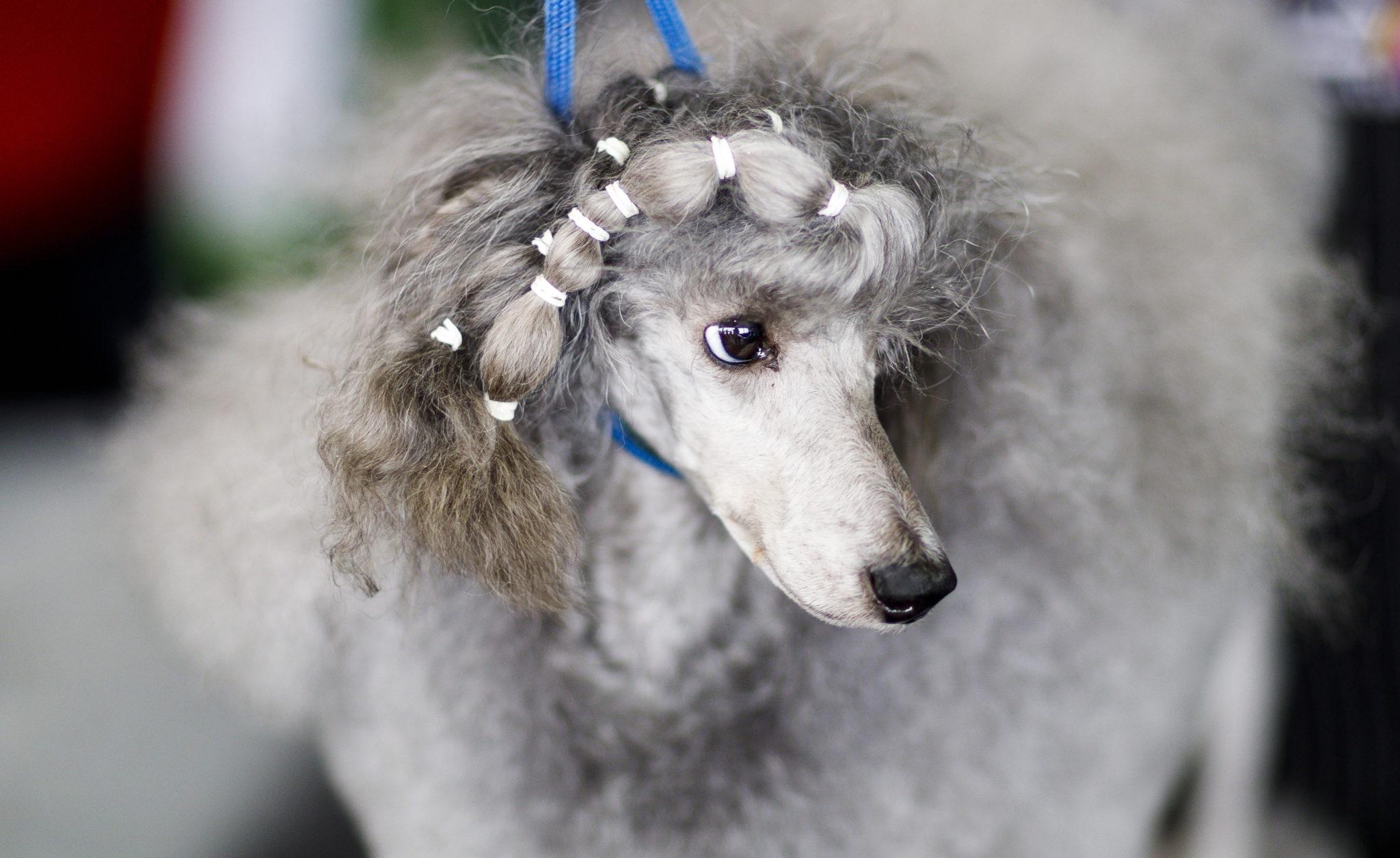 """Nowy Jork: coroczny konkurs piękności psów """"Westminster Kennel Club Dog Show"""", fot. Justin Lane, PAP/EPA"""