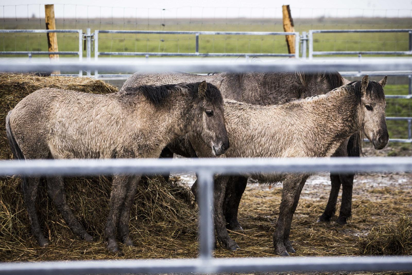 Koniki polskie w Lelystad, Holandia. Fot. PAP/EPA/VINCENT JANNINK