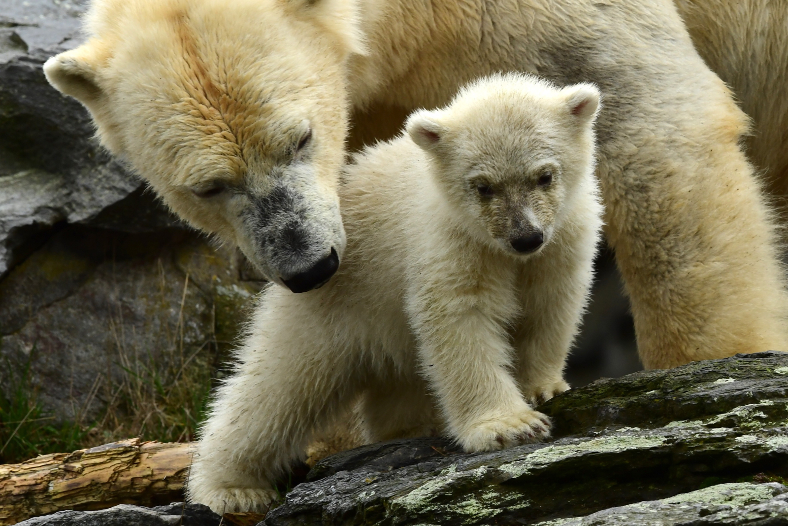 Mały miś polarny w Zoo w Berlinie  EPA/CLEMENS BILAN