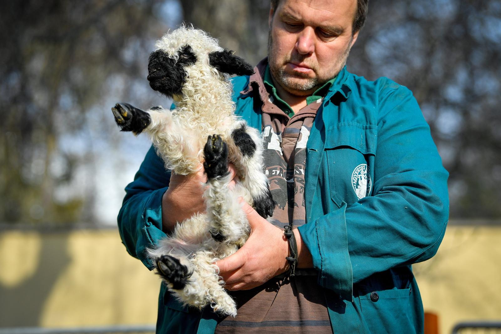 Tygodniowe jagnię w zoo na Węgrzech. Fot. PAP/EPA/ZSOLT CZEGLEDI