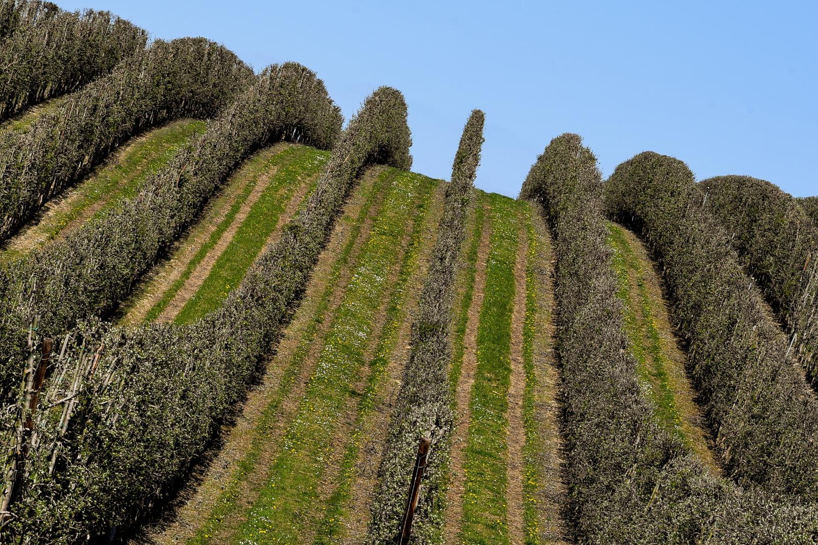 Niemiecki sad owocowy w pobliżu miasta Grimma, w Saksonii. Fot. PAP/EPA/FILIP SINGER
