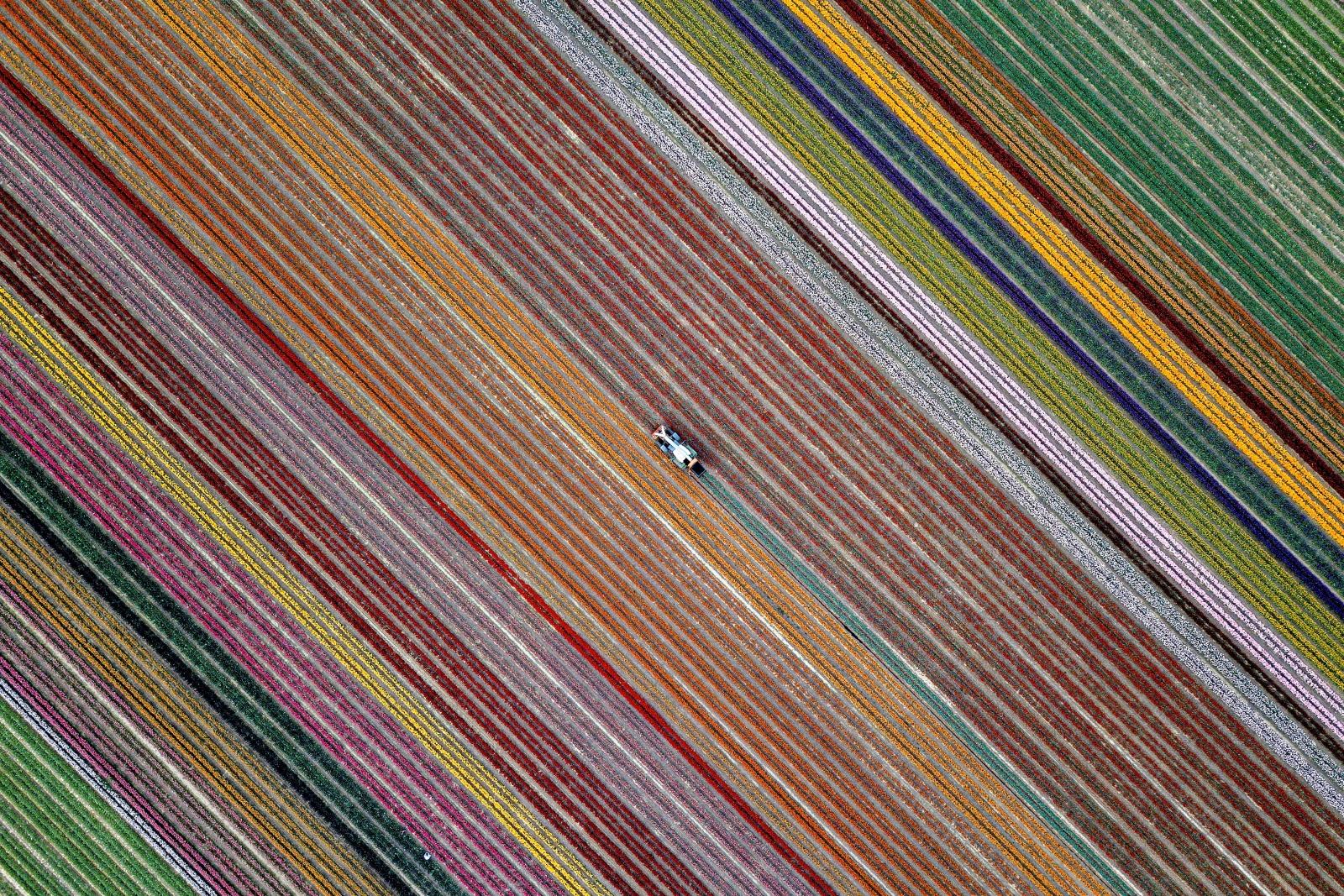 Kwitnące tulipany na polu w Grevenbroich w Niemczech/EPA/SASCHA STEINBACH
