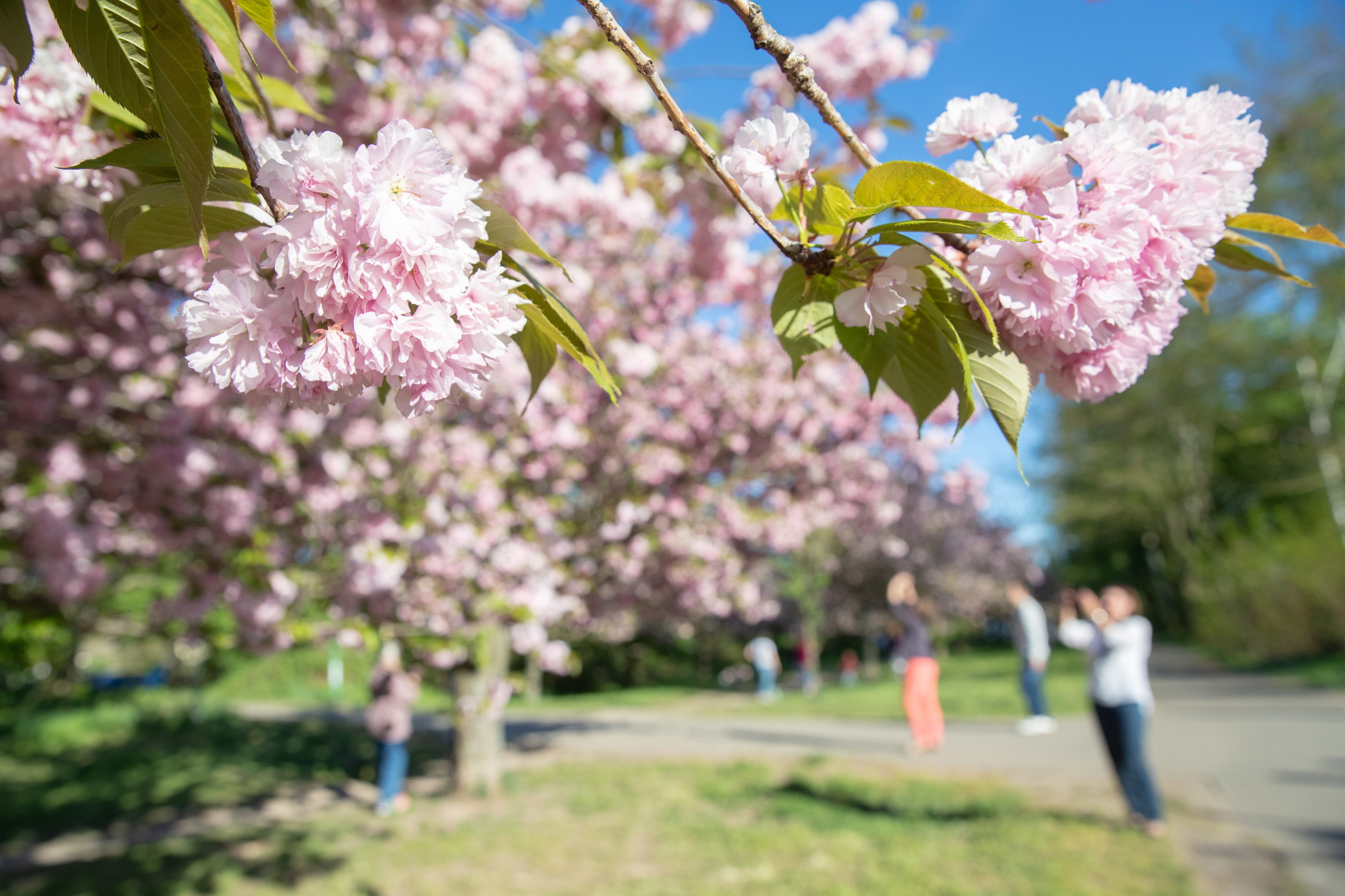 Festiwal kwitnącej wiśni w Berlinie. Fot. PAP/EPA/HAYOUNG JEON