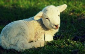 owieczka baranek