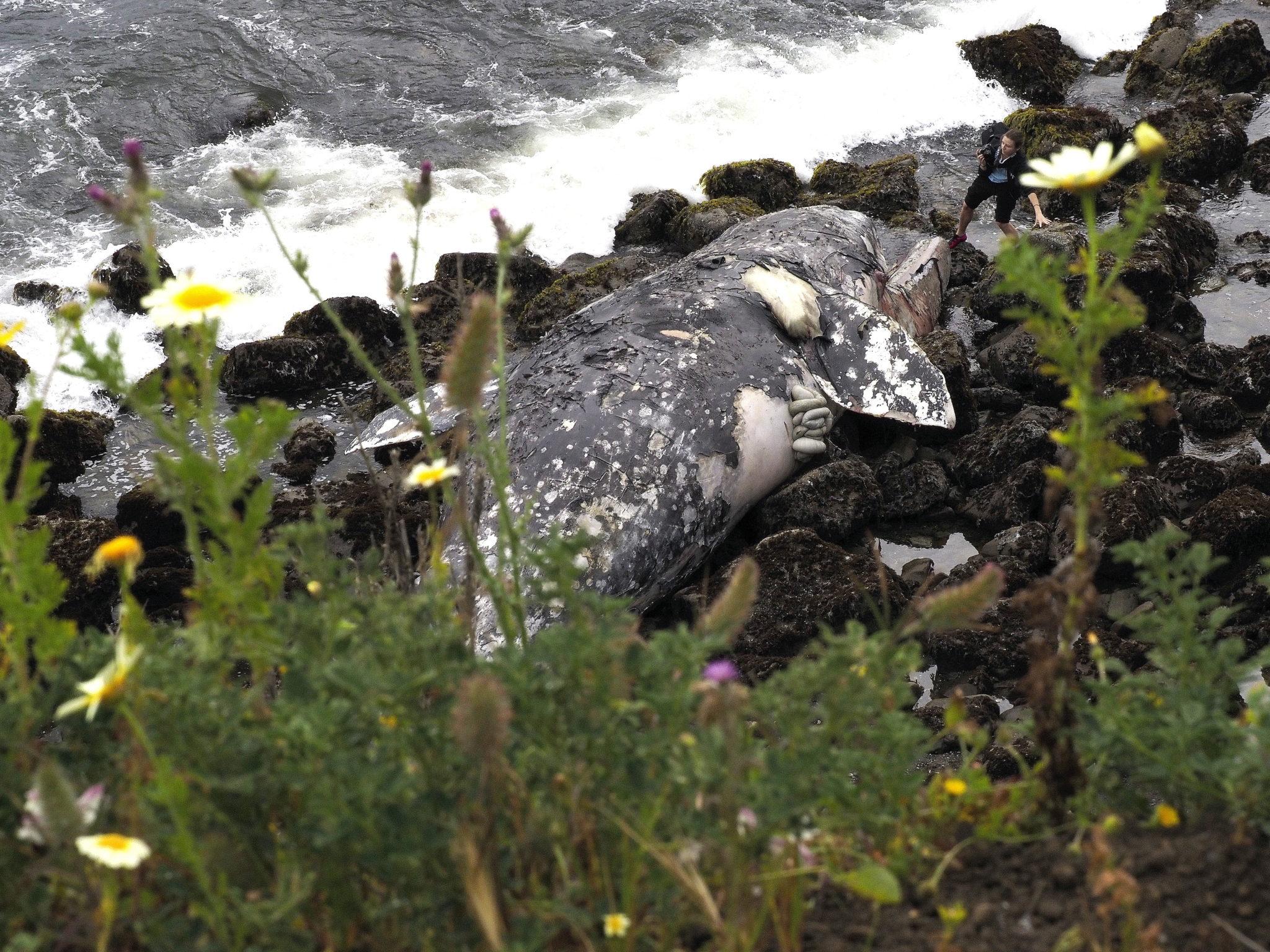 USA: nieżywy wieloryb u brzeg Pacyfiku w Kalifornii, fot. JOHN G. MABANGLO, PAP / EPA.