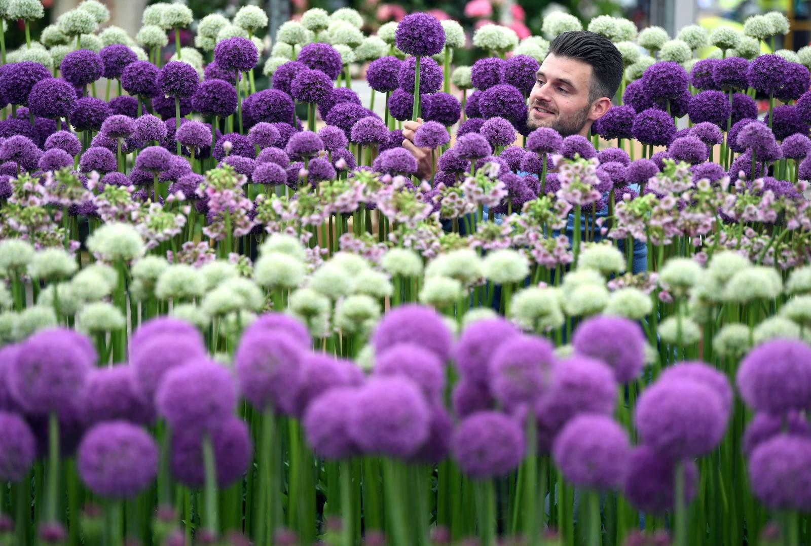Chelsea Flower Show. Fot.  PAP/EPA/NEIL HALL