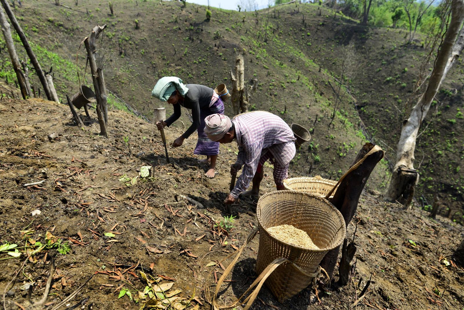Mieszkańcy Indii sieją niełuskane ziarna.  Fot. PAP/EPA/STR