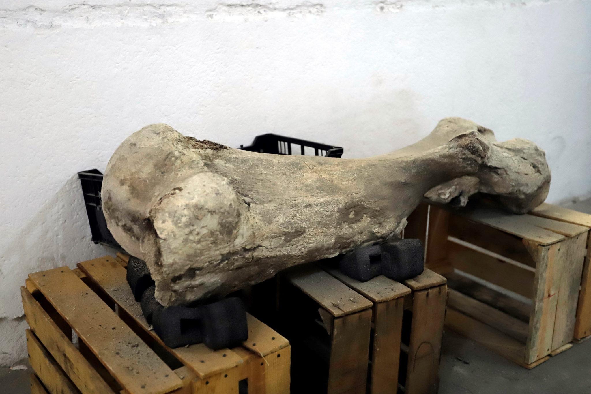 Szczątki szacuje się na wiek od 10 do 14 tysięcy lat. Znaleziono je podczas prac na prywatnej ziemi w stanie Puebla. fot. Hilda Rios, PAP/EPA