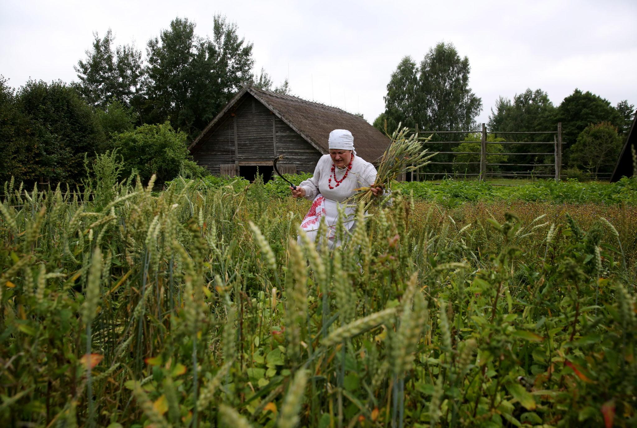 """Białoruska kobieta w tradycyjnym strojau tnie i wiąże snopy podczas obrzędu """"Zazhinki"""" w wiosce Ozertso, około 5 km od Mińska, fot. TATYANA ZENKOVICH, PAP/EPA"""