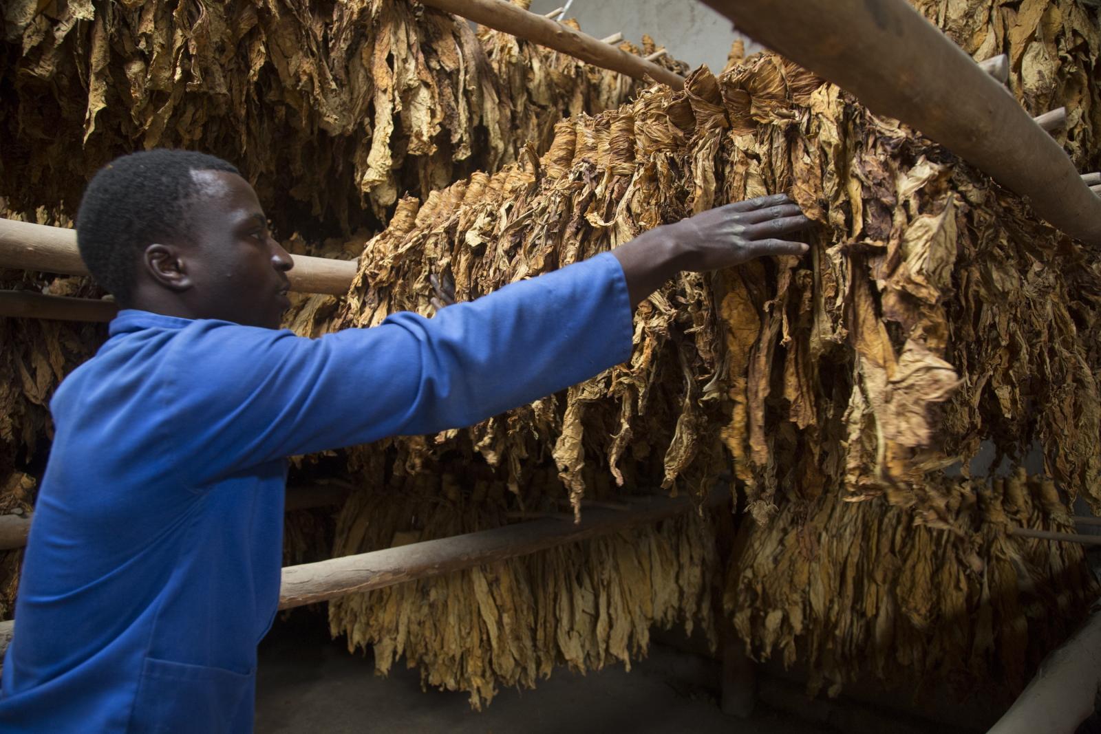 Uprawa tytoniu w Zimbabwe Fot.  EPA/AARON UFUMELI
