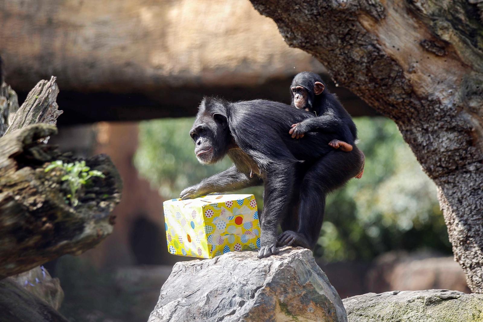 Pierwsze urodziny szympansa CoCo Fot.  EPA/ANA ESCOBAR
