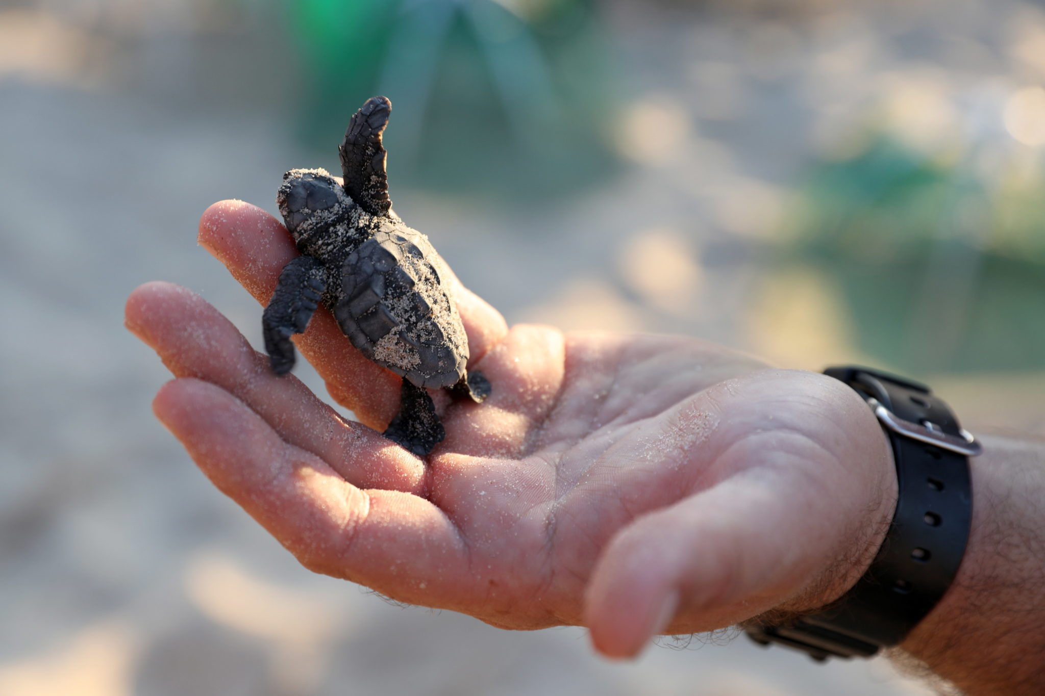 Izrael: nowonarodzony żółw morski w chronionym obiekcie Izraelskiego Urzędu ds. Przyrody i Parków na wybrzeżu Morza Śródziemnego przy plaży Palmachim w pobliżu Rishon LeZion, fot. Abir Sultan, PAP/EPA