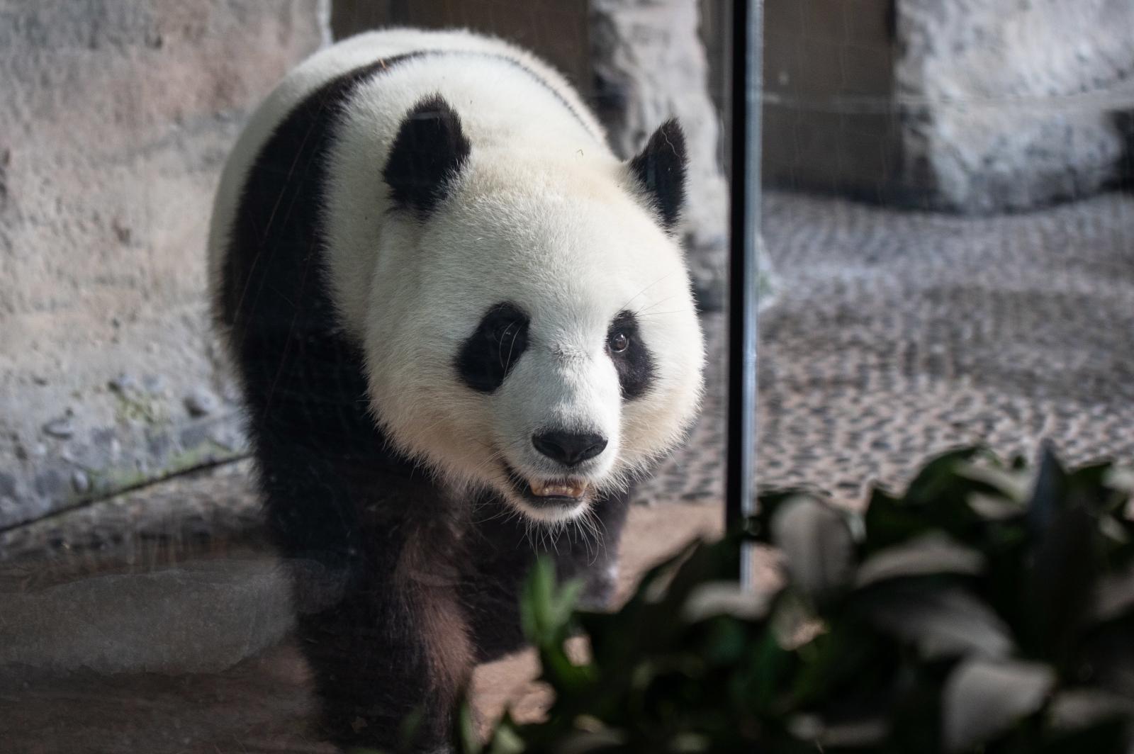Panda w berlińskim zoo Fot. EPA/OMER MESSINGER