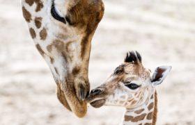 Żyrfy z safariparku w Holnadii fot. EPA/Koen van Weel