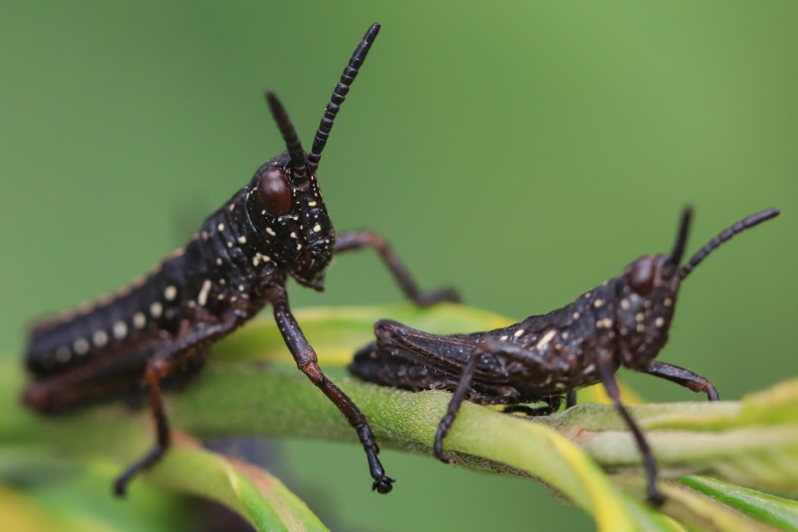 Kenijskie owady fot. EPA/Daniel Irungu