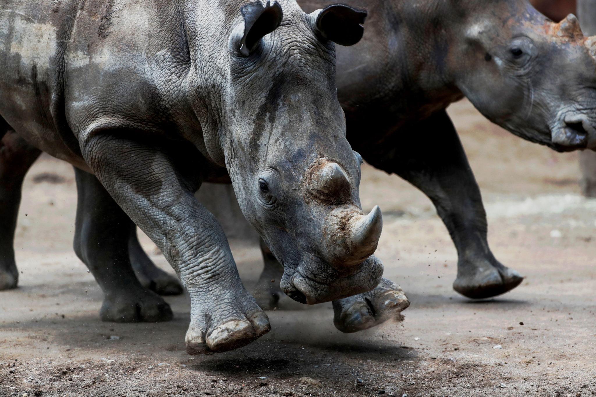 Gwatemala: białe południowoafrykańskie nosorożcce w zoo La Aurora w Guatemala City, fot. Esteban Biba, PAP/EPA