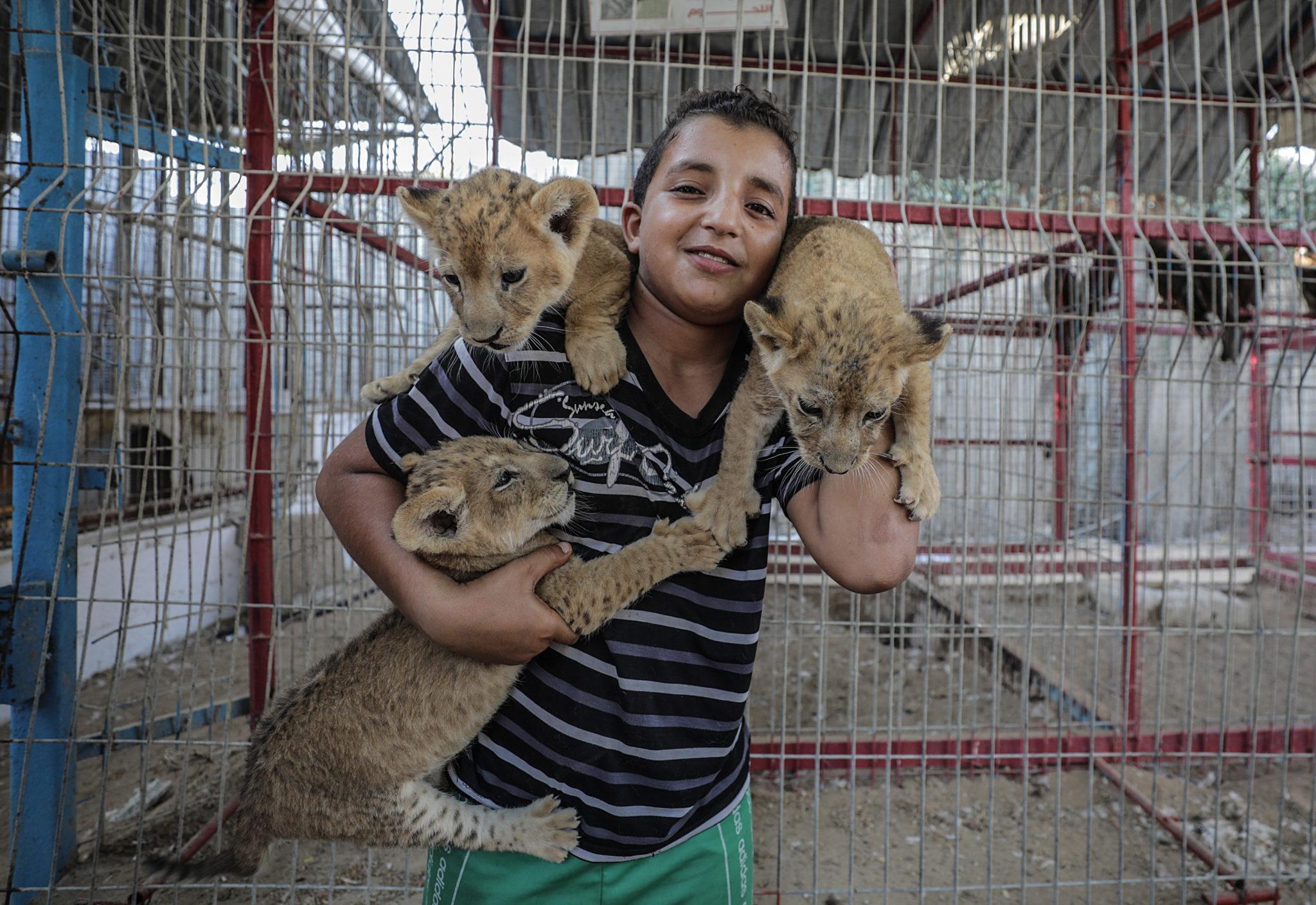 Trzy nowonarodzone lwiątka w zoo w obozie dla uchodźców w Rafah w południowej Strefie Gazy, fot. Mohammed Saber, PAP/EPA