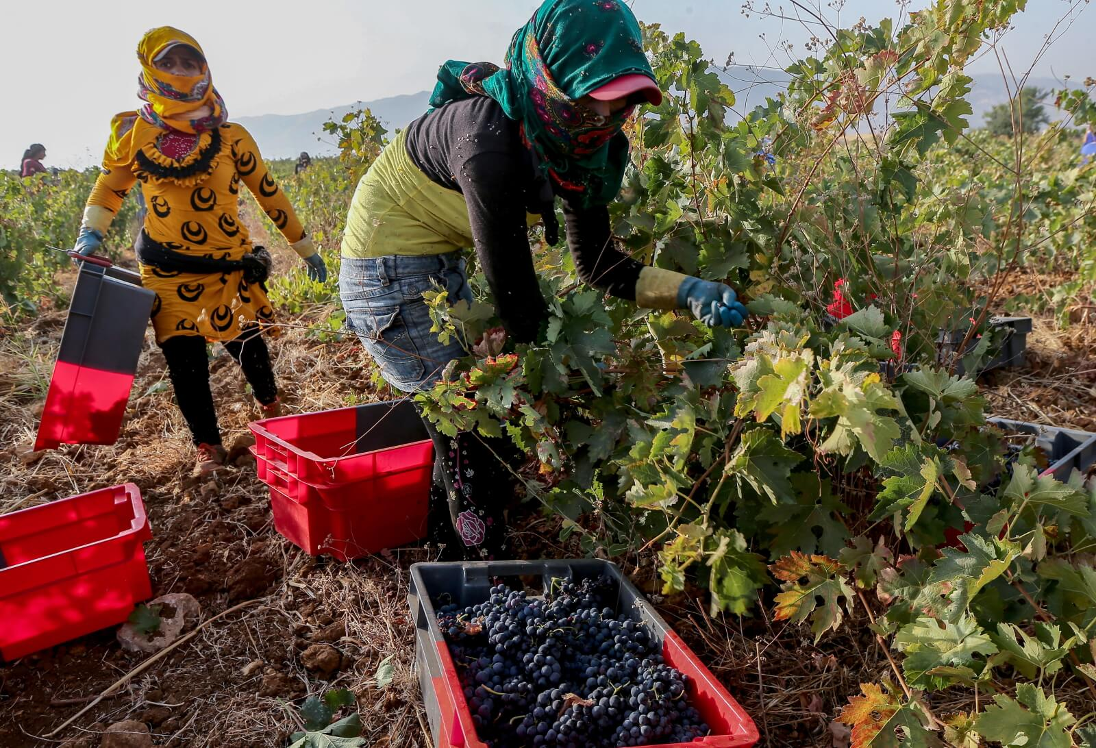 Produkcja wina w Lebanonie fot. EPA/NABIL MOUNZER