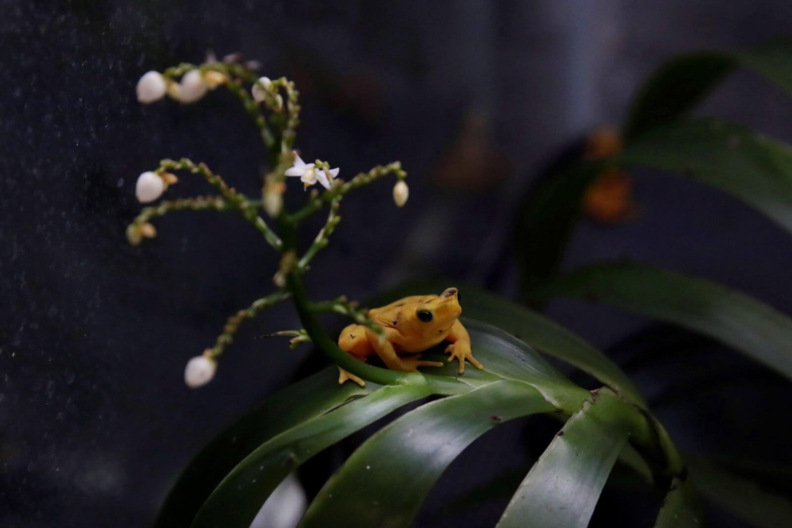Złota żaba z Panamy fot. EPA/Bienvenido Velasco