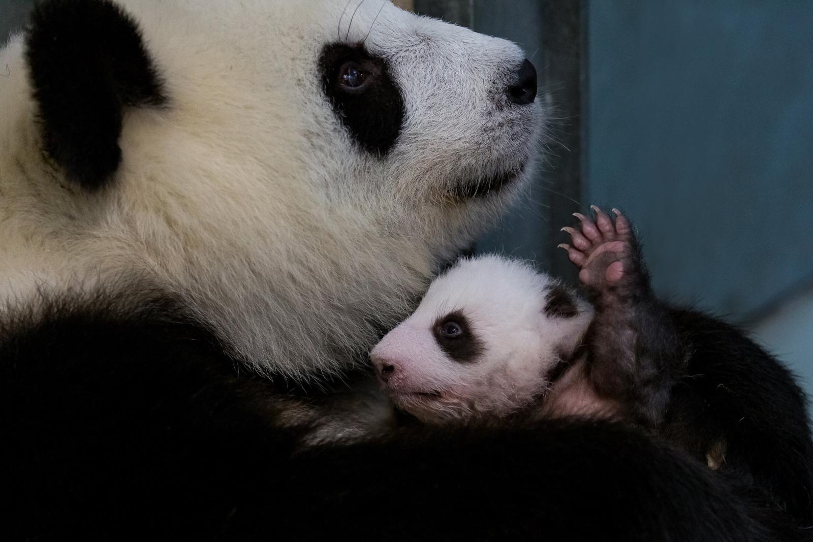 Młoda panda ze swoją mamą w berlińskim zoo fot. EPA