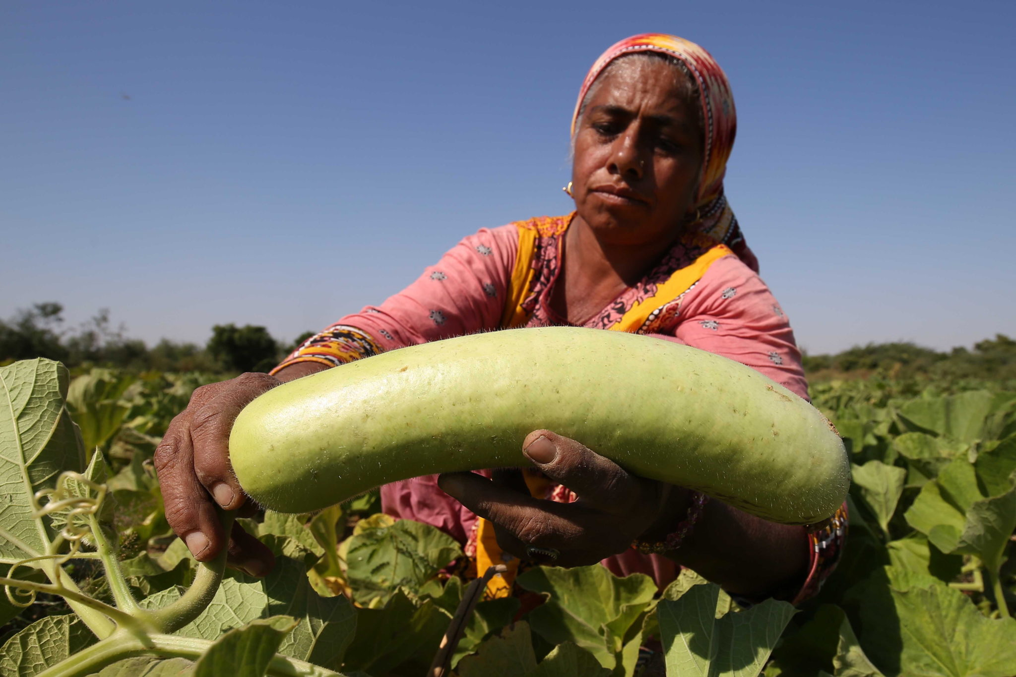 Pakistan, zbiór warzyw, fot EPA/SHAHZAIB AKBER