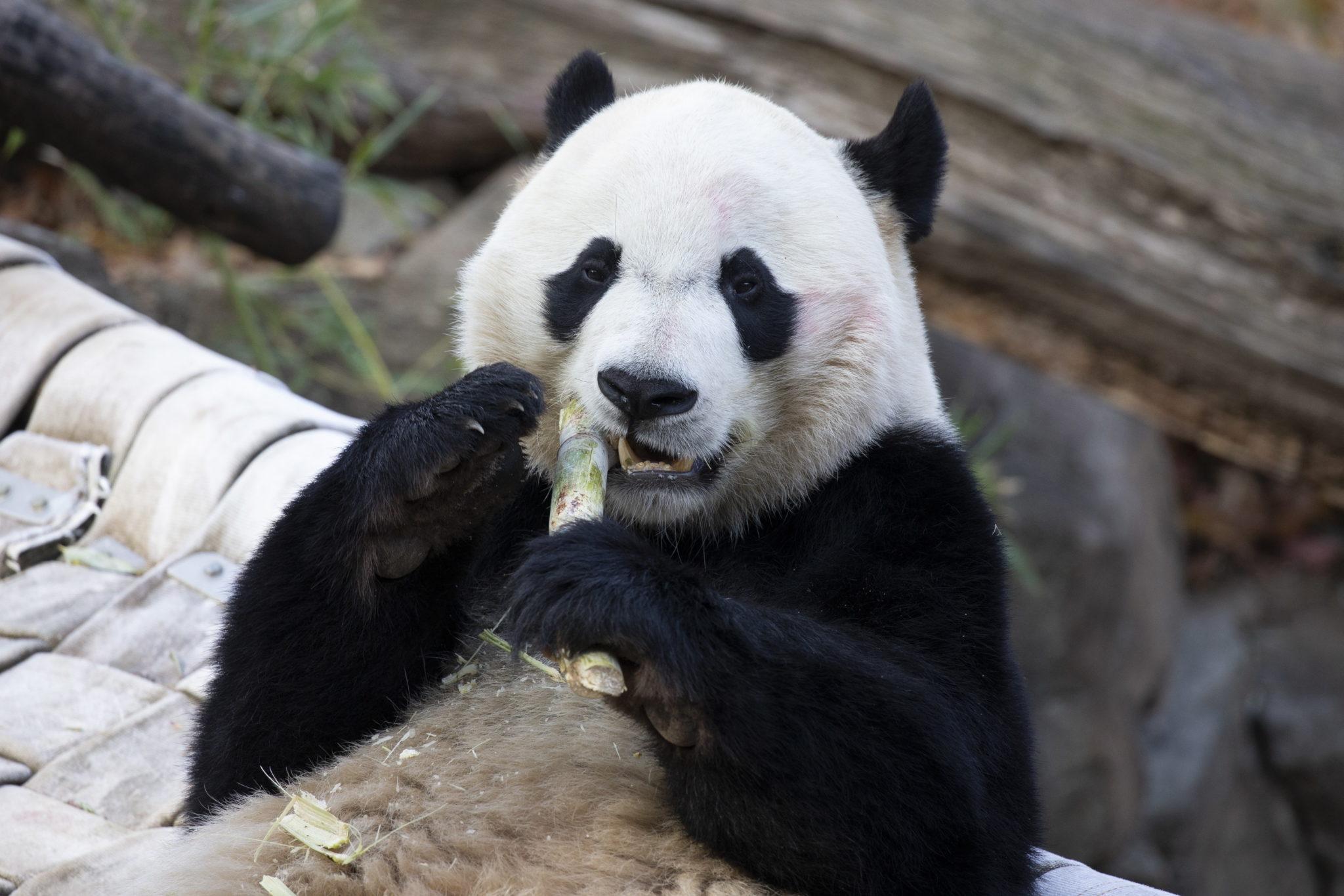Panda Bei Bei w Narodowym Ogrodzie Zoologoicznym w Waszyngtonie, fot. EPA / MICHAEL REYNOLDS