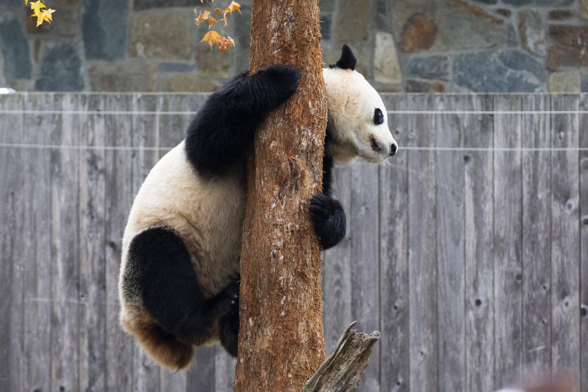 """4-letnie Bei Bei opuści Narodowe Zoo, w którym urodził się, aby zamieszkać w bazie prowadzonej przez Chińskie Centrum Ochrony i Badań nad Wielką Pandą w Syczuanie w Chinach. Umowa Narodowego Zoo z Chinami stanowi, że młode pandy urodzone w Zoo jadą do Chin, gdy osiągną cztery lata. Bei Bei pojedzie do Chin samolotem Boeing 777-Freighter nazwanym """"The Panda Express"""", fot. EPA / MICHAEL REYNOLDS"""