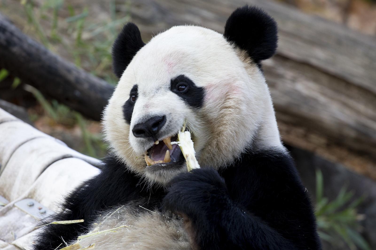 Panda jedząca przekąską fot. EPA/MICHAEL REYNOLDS