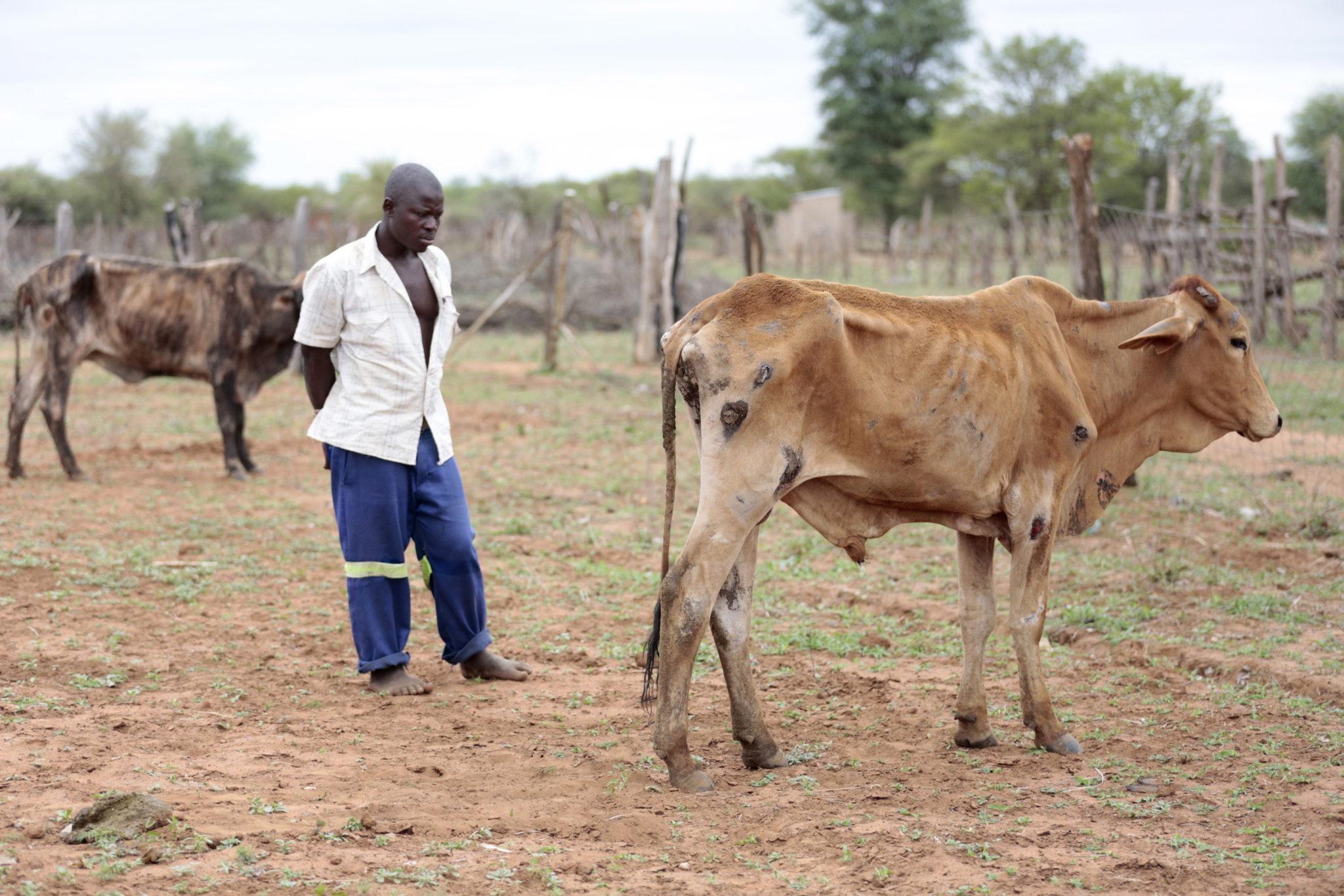 Katastrofalna susza w Zimbabwe jest przyczyną cierpienia ludzi i zwierząt. fot. EPA/AARON UFUMELI