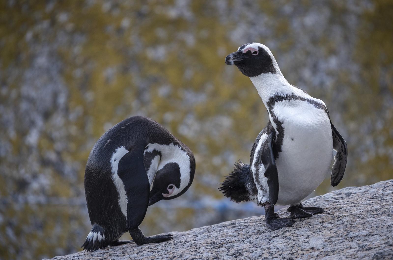 Pingwiny fot. EPA/NIC BOTHMA  ATTENTION